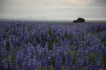 Les lupins (bis) -
